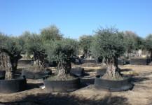 oleas  lechin enraizados de perímetro de tronco 150-200 cm