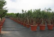 olives europeas var. Arbequina de perímetro de tronco 30-50 cm en cont. de 15º lt
