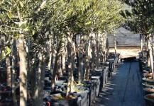 olea europea en cont. de 90 lt de perímetro de tronco 15-20