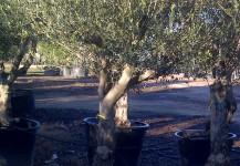oleas europeas var Manzanilla de calibre de 30-50 cm