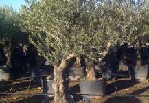 olea europea var marteña o picual de calibre 60-80 cm
