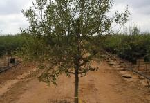 olea silvestre arbol per.  14-16
