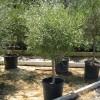 olea europea en cont. de 90 lt de perímetro de tronco 10-15