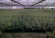 Oleas Europeas var. Marteña o Picual en cont 9x9x10 (500 c.c.)