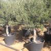arbequina cvont 40 ltr peri- 20-25