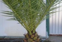 Palmaceas