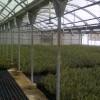 Planta seleccionada preparada para ser servida con altura de 30-50 cm de altura  de Olea Europea var. Arbequina