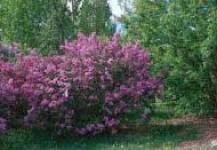 (Español) arbusto