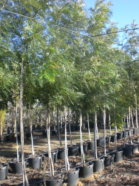 produccion de plantas ornamentales arboles verdial gl plantas