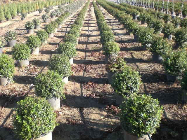 Arbustos verdial gl plantas for Tipos de arbustos ornamentales
